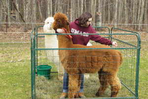Jenna, the farmhand at Longwoods Alpaca Farm in Cumberland, attends to an alpaca that is about to be sheared. Photo: Abby Mattingly