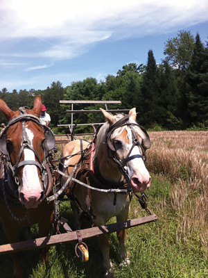 Draft horses in northern Maine harvest barley for use in Maine Craft Distilling spirits. PHOTO: Luke Davidson