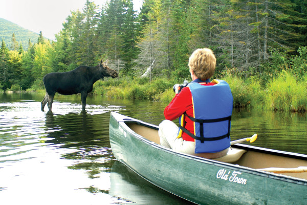 A moose tour is one way to get up close and personal with one of Maine's most majestic animals. PHOTO: Michael Boutin, Courtesy of Northwoods Outfitters