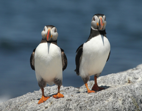 A pair of puffins on Eastern Egg Rock. PHOTO: Stephen Kress