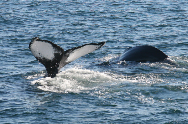 A humpback shows off its tail while feeding in Casco Bay. PHOTO: Michael Davis, Courtesy of Odyssey Whale Watch