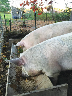 "The Ouellette's aptly named their two pigs ""Hammy"" and ""Crispy Bacon,"" to serve as a reminder that they were not pets. PHOTO: MARK OUELLETTE"