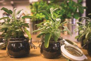 herb-plants-in-jars